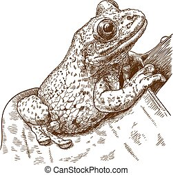 black-spotted, arbre, casque-headed, gravure, grenouille, illustration