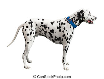 Black spotted Dalmatian - Black spotted Dalmatian, isolated...
