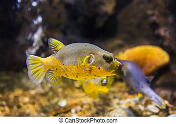 Black Spotted or Dog Faced Puffer fish (Arothron nigropunctatus) in Aquarium