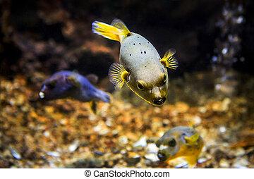 Black Spotted or Dog Faced Puffer fish (Arothron nigropunctatus) in Aquarium