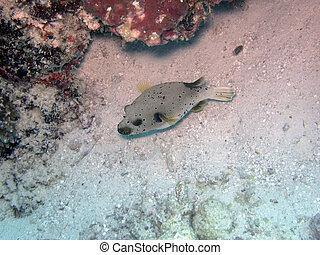 Black-spotted pufferfish (arothron nigropunctatus) -...