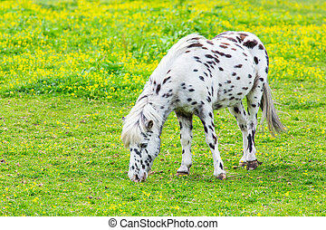 Black spotted white horse grazing in blooming meadow