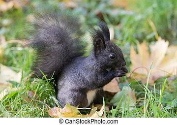 black squirrel eating a nut