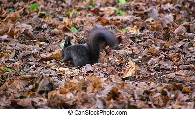 Black squirrel looking for food under leaves