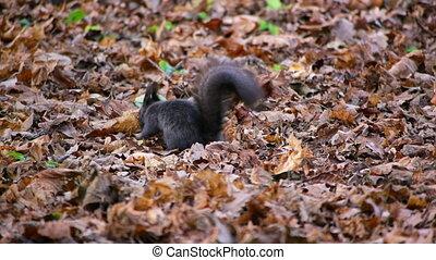 Black squirrel looking for food under leaves
