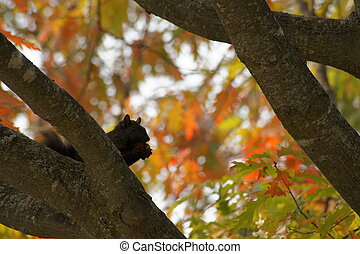 Black squirrel on a fall day.