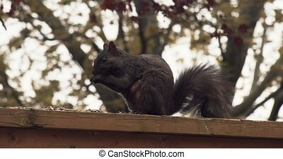 Black squirrel on a fence. Shot in 4K RAW.
