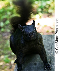 Black squirrel on top of a table looking up.