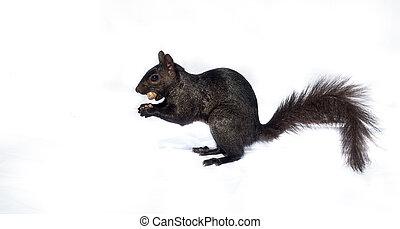 Black squirrel with a peanut.