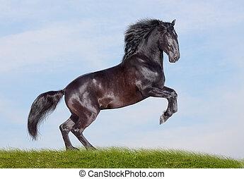 black stallion - black horse rearing