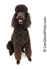 Black Standard Poodle Dog Isolated on White - Black Standard...