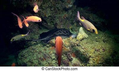 Black stingray swims over deep, rocky reef.