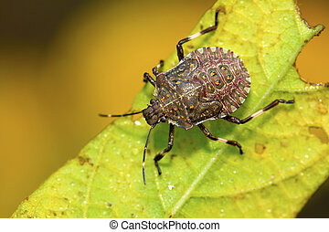 black stinkbug larvae on green leaf in the wild natural...