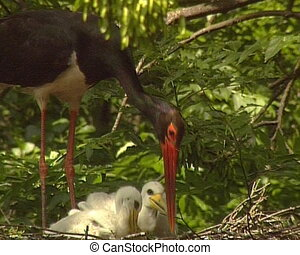 Black stork bird Red List