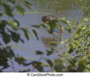 Black stork Ciconia nigra looking for food frog and fish in lake swamp. Vanishing protected bird in IUCN Red List book.