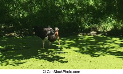Black Stork (ciconia nigra) wades and forages in a ditch (2)