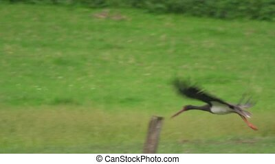 black stork in autumn