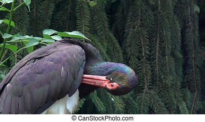 black stork in forest