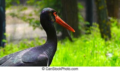 black stork in the habitat