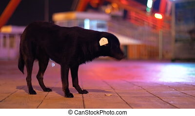 Black stray dog in an amusement park at night eating food on the street