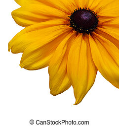Black susan - partial black susan flower isolated on white...