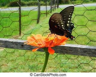 Black Swallowtail Butterfly Flower