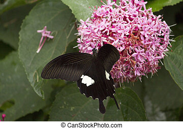 Black swallowtail butterfly sucking nectar from flowers