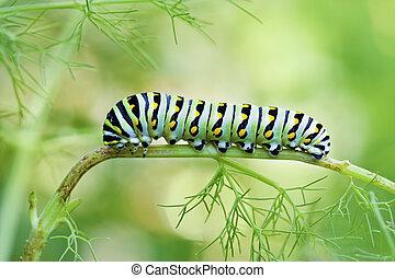 Black Swallowtail Caterpillar - A macro shot of a Black ...
