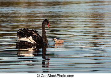 black swan and cygnet on lake