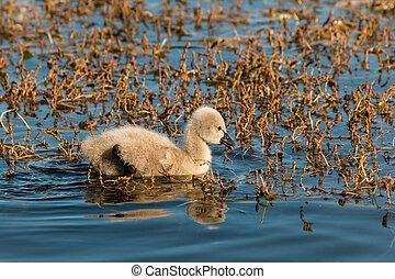 black swan cygnet on lake - black swan cygnet searching for...