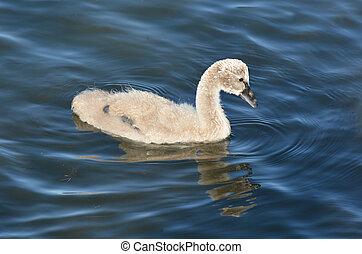 Black swan cygnet on Lake Rotorua, New Zealand.