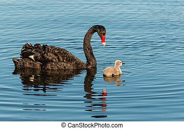 black swan guarding cygnet on lake