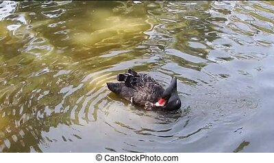 Black swan in a pond washes