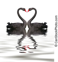 Two romantic black swans creating heart shape with necks.