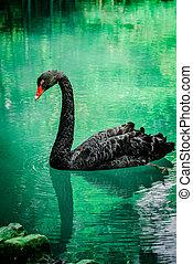 Black swan sweaming at the beautiful lake