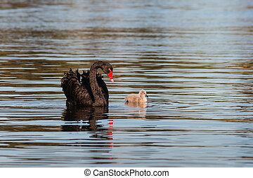black swan with cygnet swimming on lake