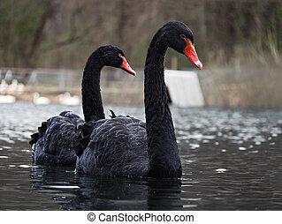 Black swans at the lake sweaming pair