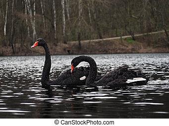Black swans couple at lake