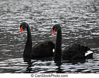 Black swans couple at the lake