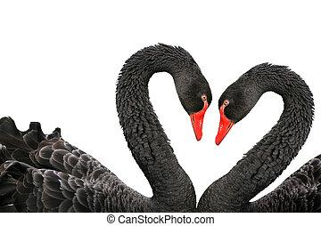 Black swans (Cygnus atratus) isolated on a white background