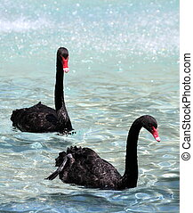 Black swans on a lake.