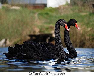 Black swans sweams greasfully at the blue lake side view close-up