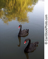 Black Swans swimming