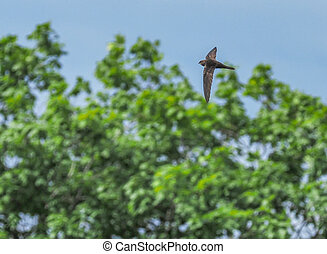 black swift flies in the forest