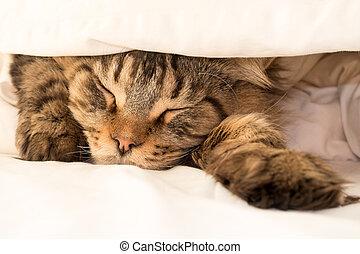 Black Tabby Maine Coon Cat sleeping under Duvet