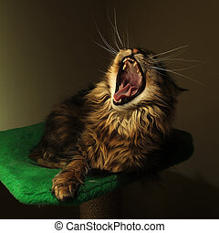 yawn - Black tabby maine coon cat yawn