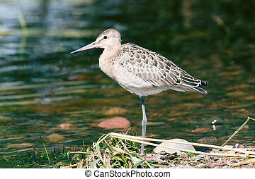 Black-tailed godwit (Limosa limosa), a young bird on the...