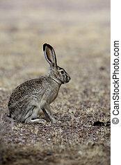 Black-tailed jack rabbit, Lepus californicus, New Mexico, USA