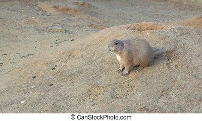 Black-tailed prairie dog on the ground - Black-tailed...