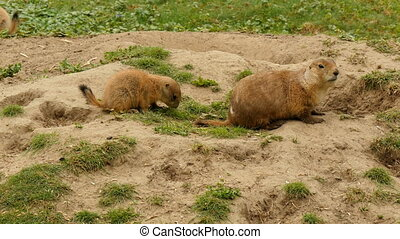 Black-tailed prairie dogs eating at burrow entrance